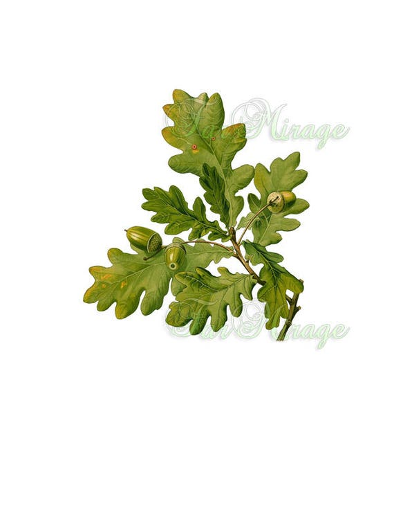 TREE BRANCH OAK Leaves With Acorns Quercus In Png Psd Vintage