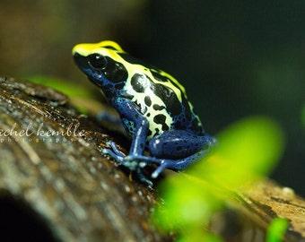 Cobalt Poison Dart Frog Macro Color Image Print