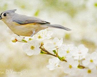 Tufted Titmouse Bird Print, Bird Photography, Fine Art Photography, Bird Wall Art, Bird Photo, White Apple Blossoms, Songbird Wall Decor