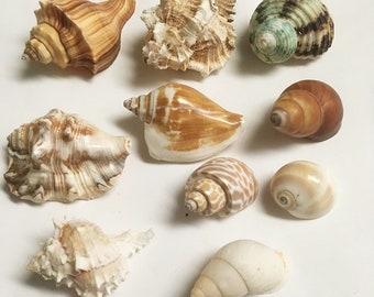 Land snails/shells  for hermit crabs 10 assorted medium/large seashells -3