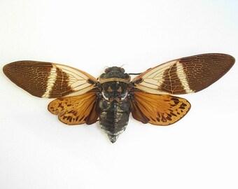 OVERSTOCK: spread real Cicadas Angamiana floridula