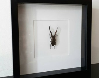 Real pinned cyclommatus metallifer stagbeetle in frame curiosity insect beetle taxidermy