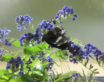 Black Butterfly on Blue Flower, Digital Download Photography, DIY Home Decor, Affordable Wall Art,  Nature Insect Photograph