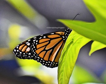 Monarch Butterfly, Color Photograph, Home Decor, Wall Art, Photograph, Butterflies, Spring, Garden, Gift, Housewarming, Nature, Unframed