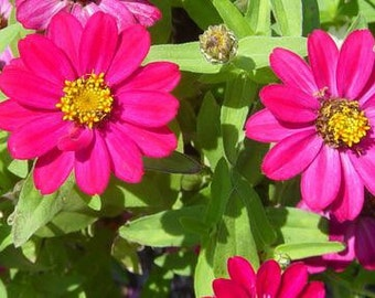 Flower seeds zinnia profusion rose garden. 75 seeds