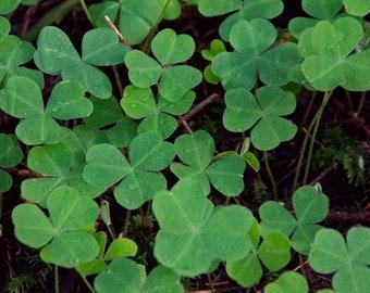 Shamrocks - Garden - Fine Art Print - Floral Photography - Print - Green - Clover - Spring - Home Decor - Wall Art - March - Irish - Renfro