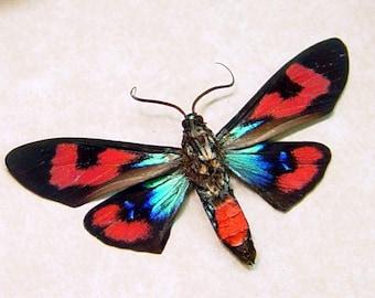 Metallic Blue Red Day Flying Moth Conservation Display 284v