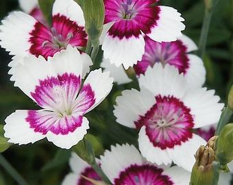 Dianthus deltoides Arctic Fire-(1) Gallon Live Plants-Hardy Perennial Fragrant -  Dainty Flower - Perennial Flower-Dianthus Plants - Plants