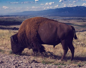 Gift for Dad, Bison Photography, Western Landscape, Large Wildlife Photography, American Buffalo, Great Plains, Rocky Mountains, Montana Art