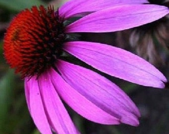 40+ Purple Echinacea Coneflower / Perennial Flower Seeds