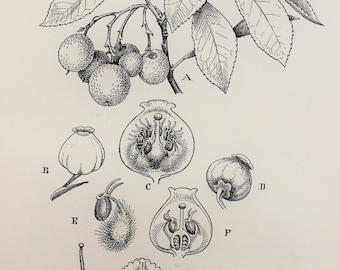 Vintage Botanical Print by C. F. Newall: Strawberry Tree (leaves, flowers and berries), Monochrome or Black and White Engraving