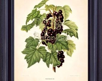 FRUIT 8x10 Print Antique Botanical Art Plate 45 WENDEL Black Currant Small Berries Green Leaves Garden Plant FV0303