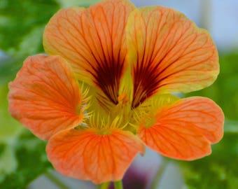Orange Pansy