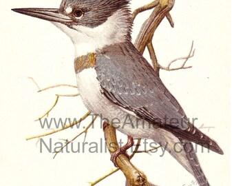 Vintage Bird Illustration, Belted King Fisher, Antique Print, Digital Download