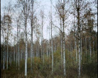 Norway Print, Autumn, Birch Grove, Photography Art Print, Norwegian Nature, Analog, Landscape, Forest, Scandinavian, Oslo, 30x30, 15x15