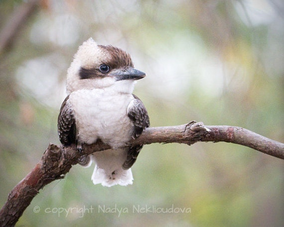 baby kookaburra print australian bird art nature decor