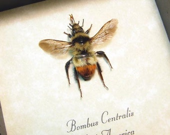 Real Framed Bombus Centralis North American Bumble Bee 8283