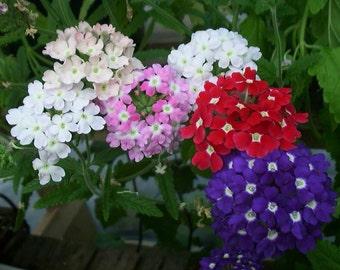 Gardening Verbena Ideal Florist seeds fresh best before 12.2018 in package 0,2 g