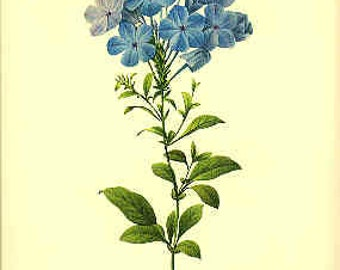 Redoute Botanical Print - Plumbago - 32 - Leadwort - Leadwort Print - Blue Plumbago Print - Plumbago Print - Blue Flower Print