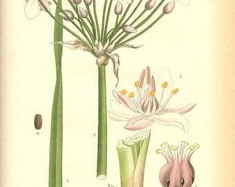 Botanical Book Plate 483 - FLOWERING RUSH (Butomus Umbellatus L.) 1905