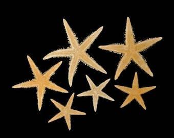 Philippine Tan Flat Starfish (Small)  (5 starfish)
