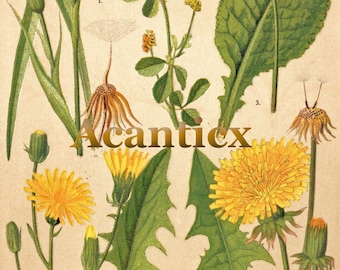 AC10016 Antique original lithography 1918 wood flowers herbs flora botany primrose dandelion  chromolithography