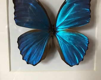 On Sale Now! Gorgeous Huge Blue Morpho Butterfly, Mounted and Framed in a Shadow Box