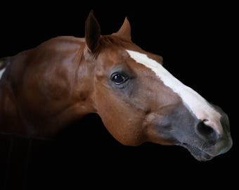 Great gift for a horse lover! Formal, fine art photograph of a chestnut paint horse with blaze.