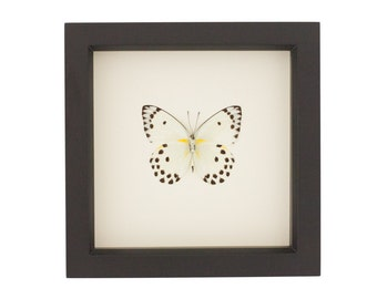 Polka Dot Real Framed Butterfly Display Belenois calypso
