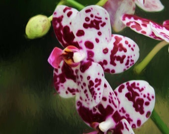 Deep pink and white orchid