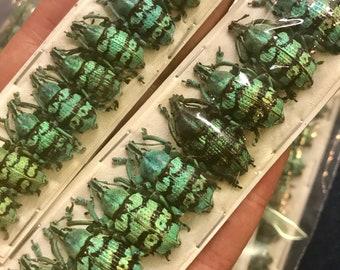 10-Pack Real Blue Weevil Beetle, Eupholus chevrolati
