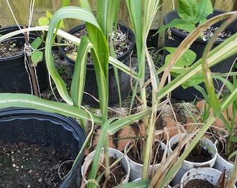 Sugarcane Starter