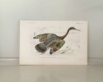 1849 sun bittern bird original antique game bird engraving - tropical souht american wading bird