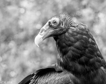 Turkey Vulture, Raptor, Bird Photography, Bird of Prey, Home, Cabin and Office Decor, Bird Wall Art, Nature Print, Black and White