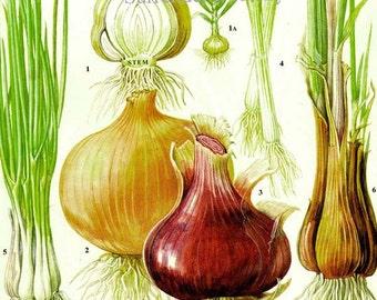 Onion Chart Vegetable Food Botanical Lithograph Illustration For Your Vintage Kitchen 167