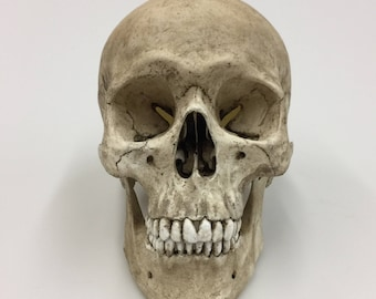 Skull Decor,  Human Skull with lower mandible replica - Realistic Size