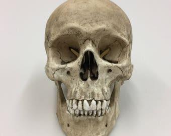 Skull Decor,  Human Skull with lower mandible replica - Realistic Size