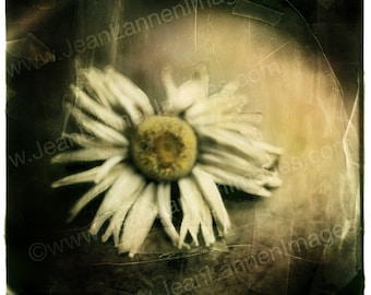 My First Daisy - Print Still Life 6x6, I grew daisy. Black & White Sepia Textured Shabby chic, Polaroid Style Retro Look - by Jean Lannen