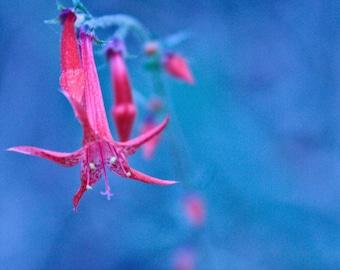 Fine Art Photography -- Columbine at Dawn
