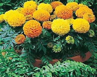 50 Seeds African Marigold Antigua Mix Marigold Seeds