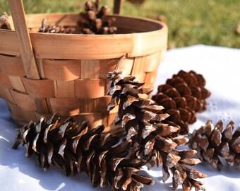Natural White Pine (pinus strobus) Cones for Decorating, Crafting