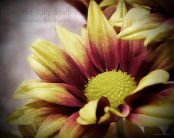 Rustic Elegance Flowers Chrysanthemum Daisy Yellow and Red Mum Macro Nature Autumn Fine Art Photography Print or Gallery Canvas Wrap Giclee