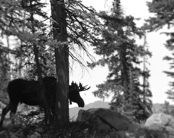 5x7  SALE - Moose photography print - Woodland art - Forest wall decor - Black and white- Small stocking stuffer - Holiday gifts