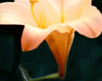 Lily Fine Art Print - Flower Yellow Peach Teal Navy Garden Romantic Home Decor Wall Art Decorate Photograph
