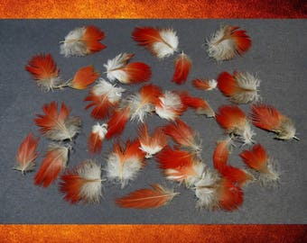 Feathers, Exotic - 30 Small Scarlet Macaw Parrot Feathers. Cruelty-free. For jewelry, costumes, and crafts.  FEA-701