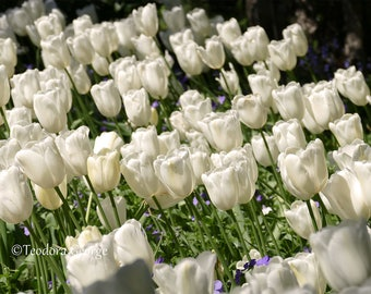 White Tulips Photography, Flower Photography, Garden Photography, Tulip Photography, Tulips, White Flowers, Spring Photo