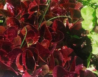 Pandero Romaine Lettuce~ op heirloom 30+ seeds