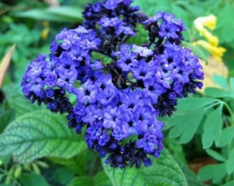 Heliotrope Mini Marine Blue Flower Seeds / Perennial 50+