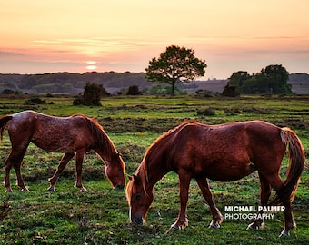 New Forest Ponies at sunset