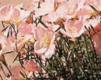 Showy Evening Primrose - 50 Seeds